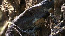 A Lace Monitor On A Tree Trunk Looks At The Cameraman