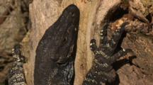 A Lace Monitor On A Tree Trunk Keeps An Eye On Surroundings