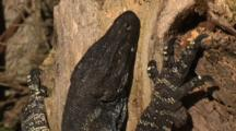 A Lace Monitor Enjoys The Warmth Of A Tree Trunk In The Sun