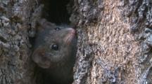 A Brown Antechinus Retreats Into Its Tree Home