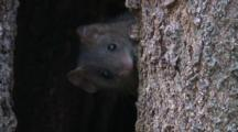 A Brown Antechinus At The Entrance To Its Tree Home
