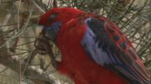 A Crimson Rosella Feeds On Casuarina Cones