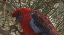 A Crimson Rosella Feeds On Casuarina Cones
