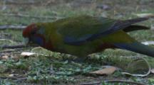 A Young Crimson Rosella Forages In The Grass