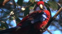 A Crimson Rosella, Perched On A Branch, Observes Surroundings