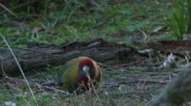 A Juvenile Crimson Rosella Walks On The Ground