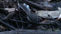 A Grey Fantail Bathes In A Rainforest Pond