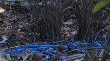 Bower Of A Satin Bowerbird With Its Collection Of Blue Items
