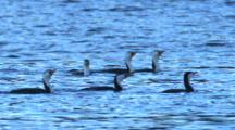 A Flock Of Little Pied Cormorants Hunt For Fish