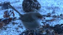 Superb Fairy Wren (F) Forages On The Foreshore
