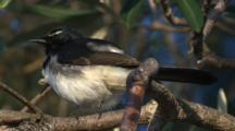 A 'willie Wagtail' Preens On A Branch