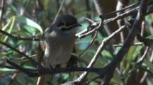 A Honeyeater Scratches Itself On A Branch