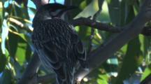 A Wattlebird Observes Its Surroundings