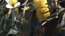 Eastern Spinebill Forages On Banksia Bloom And Flies Off