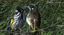 Two Honeyeaters Play Around On A Branch