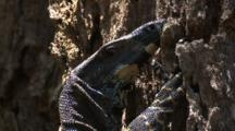 A Lace Monitor Clings To A Tree Trunk And Observes