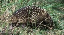 An Echidna Walks And Scratches Itself
