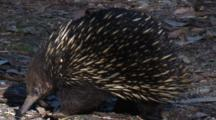 An Echidna Forages In Leaf Litter