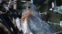 A Fan-Tailed Cuckoo Calls Three Times