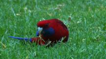 A Crimson Rosella Forages On Grass Roots