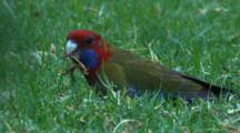 A Juvenile Crimson Rosella Forages On Grass Roots