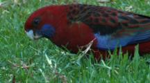 A Young Crimson Rosella Forages On Grass Roots
