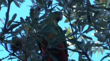 A Female King-Parrot Flies Off A Banksia Tree