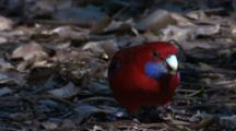 A Crimson Rosella Forages In Leaf Litter
