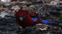 A Crimson Rosella Forages In Leaf Litter