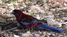 A Crimson Rosella Finds Seeds Amongst Leaf Litter