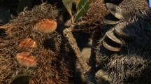 Banksia Cones At Different Stages Of Growth