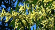Blooming Wattle Bush With Blue Sky Behind