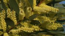 Blooming Wattle Bush (Close Up)