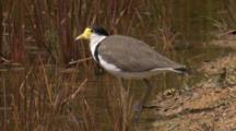 A Masked Lapwing Drinks From A Pond