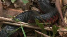 The Motionless Body Of A Red-Bellied Black Snake