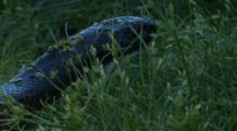 A Snake Glides Through Tall Grass
