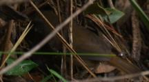 A White-Browed Scrubwren Forages In The Undergrowth