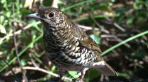 A Bassian (Ground) Thrush Forages On The Forest Floor