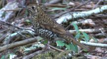 A Bassian (Ground) Thrush Rests On The Forest Floor