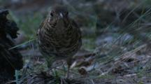 A Bassian (Ground) Thrush Takes A Step On The Forest Floor