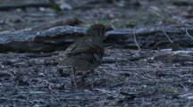 A Bassian (Ground) Thrush Forages On The Forest Floor And Leaves
