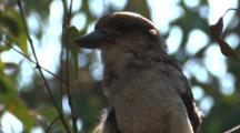 A Laughing Kookaburra Preens Its Plumage And Leaves