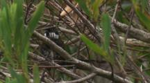An Eastern Whipbird Calls And Preens In The Scrub
