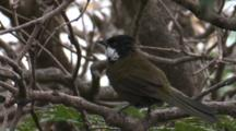 An Eastern Whipbird, Perched On A Branch, Departs
