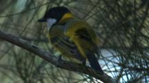 A Golden Whistler Preens Its Plumage On A Branch
