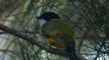 A Golden Whistler, Perched, Observes Its Surroundings
