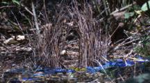 The Bower Of A Satin Bowerbird With Its Collection Of Blue Items
