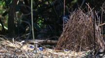 A Satin Bowerbird Male Behind His Bower