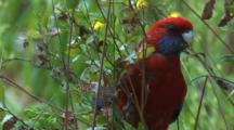A Crimson Rosella Eats Flower Buds From A Bush