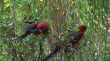 Crimson Rosellas Eat Flower Buds From A Bush
